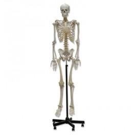 Esqueleto humano