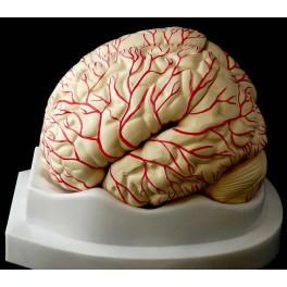 Cerebro humano en 9 partes
